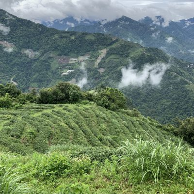 Organic teagarden Taiwan Tearista Sofie